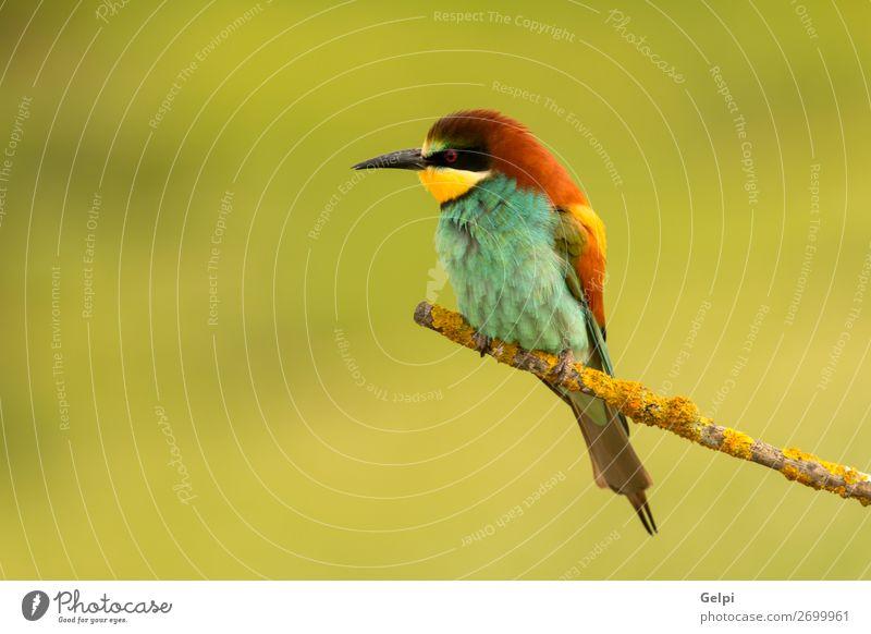 Kleiner Vogel mit schönem Gefieder exotisch Freiheit Natur Tier Biene glänzend füttern hell wild blau gelb grün rot weiß Farbe Präzision Tierwelt Bienenfresser
