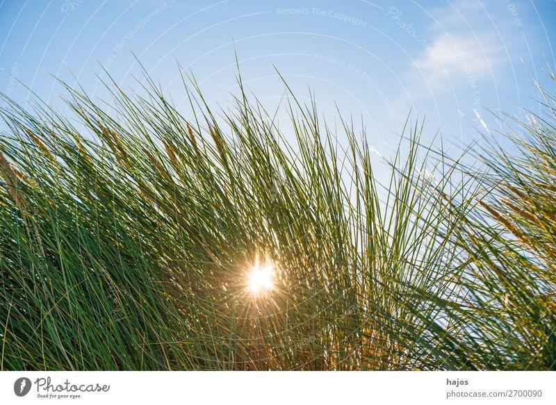 Strandhafer im Gegenlciht Sommer Pflanze Sand Grünpflanze Wildpflanze blau grün Gegenlicht Himmel Ostsee Flora Polen leuchtend Sonne Sonnenstrahlen schön Urlaub