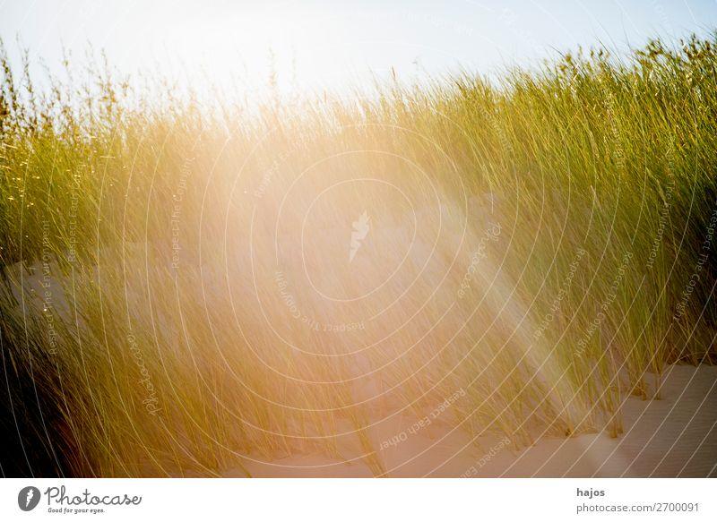 Strandhafer an der Ostsee im Gegenlicht Sommer Pflanze Sand Gras grün weiß Sonnenstrahlen hell Strahlen Flora Polen Farbfoto Außenaufnahme Nahaufnahme Tag Licht