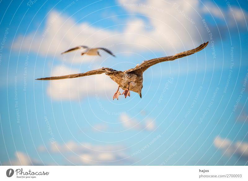 junge Silbermöwe im Flug über die Ostsee in Polen Kind Tier Vogel 2 blau braun grau Larus fuscus L. seagull flieg Himmel Fauna Möwe zwei Wolken Wildlife