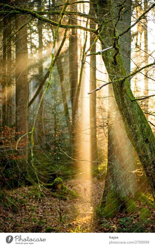 Sonnenstrahlen im Wald Erholung Winter Natur Wärme weich Idylle Beleuchtung Lichterscheinung Lichtschein Lichtspiel Sonnenlicht Spot hell Bäumen erleuchtet