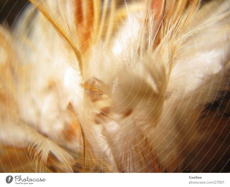federleicht 2 weich Physik kuschlig Flaum fein braun weiß Ocker Feder Wärme hell Farbe Strukturen & Formen Natur Nahaufnahme Makroaufnahme Linie Drucheinander