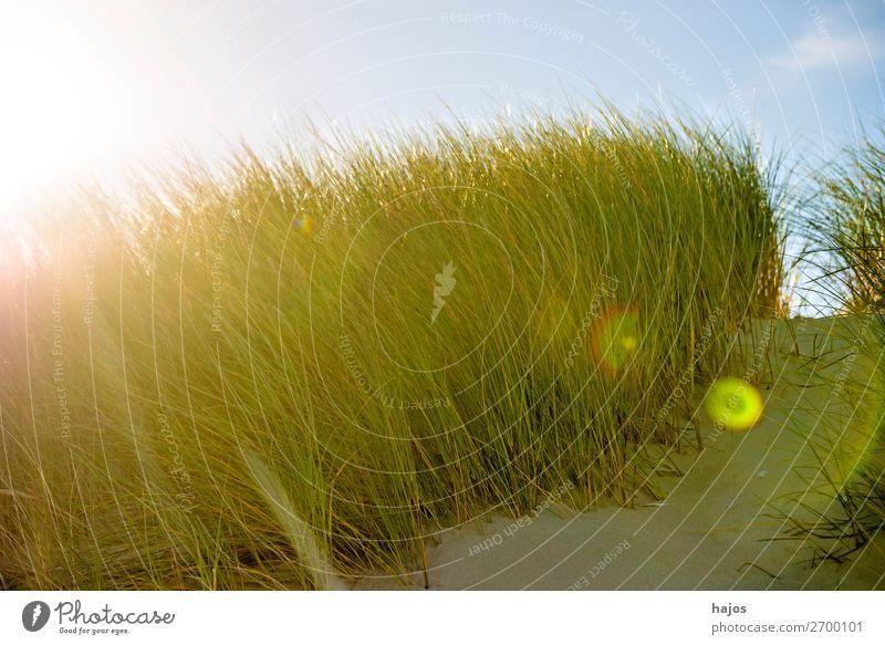 Strandhafer im Gegenlciht Sommer Pflanze Sand blau grün Ostsee Polen Gegenlicht Sonne Reflexion Himmel Flora Farbfoto Nahaufnahme Tag Reflexion & Spiegelung