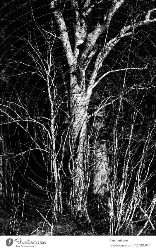 Schwarzwald, Teilansicht Umwelt Natur Pflanze Winter Baum Sträucher Wald einfach natürlich grau schwarz weiß Gefühle Schwarzweißfoto Außenaufnahme Menschenleer