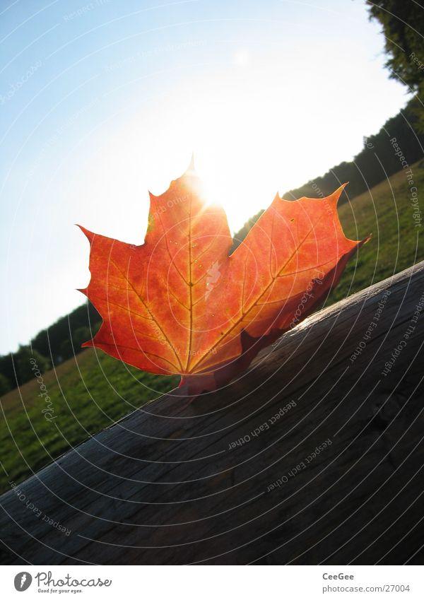 Herbstsonne Blatt rot Wald Wiese Licht verdeckt Holz Farbe Makroaufnahme Nahaufnahme Sonne Landschaft Schatten Balken verrückt liegen Himmel blau