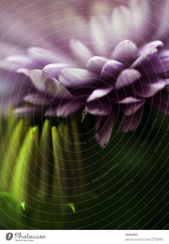 sein oder nichtsein Natur grün Pflanze Blume Blatt dunkel Blüte violett Blühend zart Blütenknospen Blütenblatt Grünpflanze
