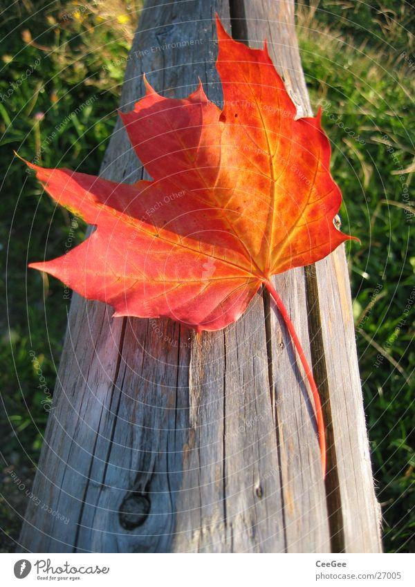Herbstblatt Blatt rot Wiese Licht verdeckt Holz Gras grün Pflanze Farbe Makroaufnahme Nahaufnahme Sonne Landschaft Schatten Balken verrückt liegen
