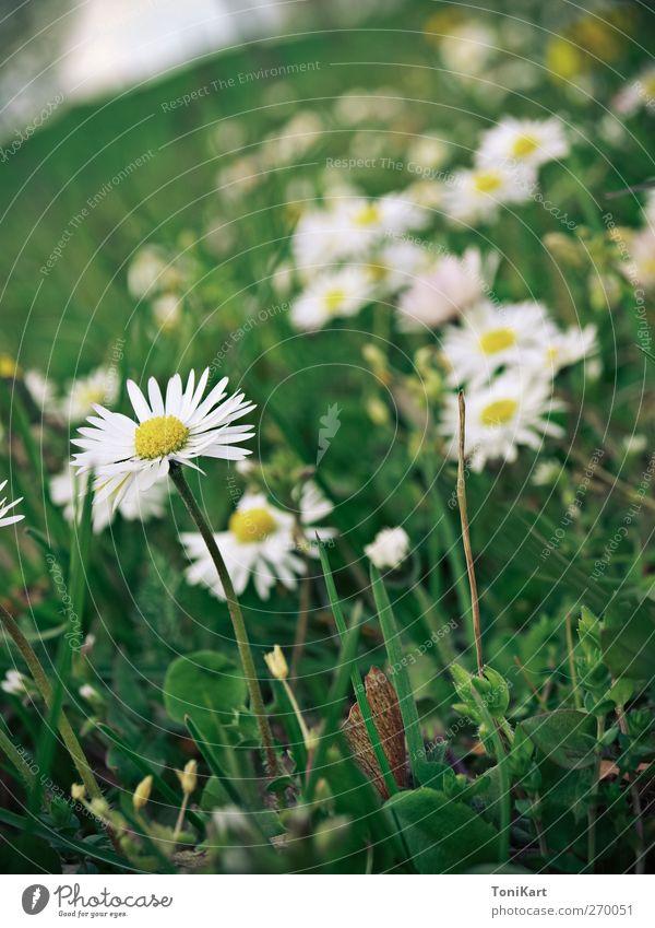 Blumenwiese Natur weiß grün Pflanze gelb Wiese Gras Frühling Blüte Wildpflanze