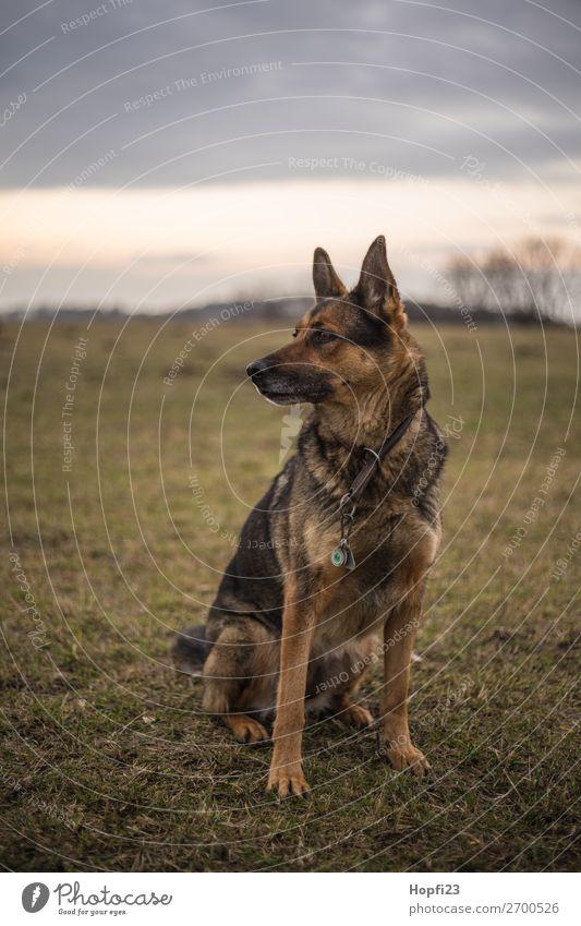 Deutscher Schäferhund Umwelt Natur Landschaft Himmel Wolken Herbst Wiese Tier Haustier Hund 1 beobachten Blick sitzen braun mehrfarbig gelb grau grün orange