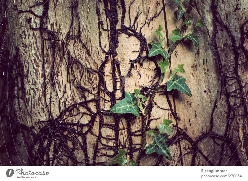 Efeu Pflanze Baum Grünpflanze Wald bedrohlich dunkel exotisch hässlich Vergänglichkeit Baumstamm Pflanzenteile Farbfoto Gedeckte Farben Außenaufnahme