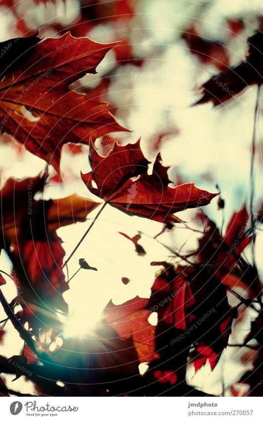 Roter Ahorn Natur Pflanze Sonne Sonnenlicht Sommer Schönes Wetter Baum Blatt Ahornblatt Ahornzweig ästhetisch Klima Umwelt Japanischer Garten Japanischer Ahorn