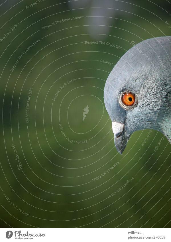richard Vogel Taube Kopf Schnabel Auge 1 Tier beobachten listig lustig Neugier Misstrauen Farbfoto Außenaufnahme Menschenleer Textfreiraum links