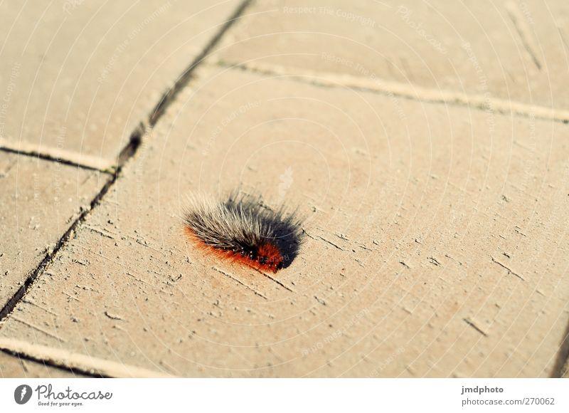 Jetzt aber schnell! Umwelt Wege & Pfade Tier Schmetterling Raupe 1 Stein Backstein rennen Bewegung gehen krabbeln heiß klein Bürgersteig Insekt langsam