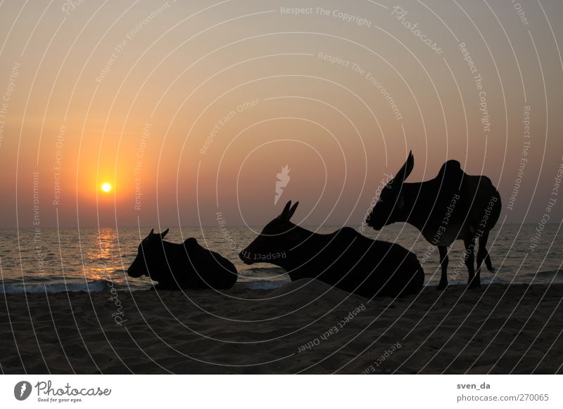 cow stairs Wasser Himmel Wolkenloser Himmel Sonne Sonnenaufgang Sonnenuntergang Sonnenlicht Sommer Wellen Strand Horizont Küste Treppe Tier Nutztier Kuh atmen