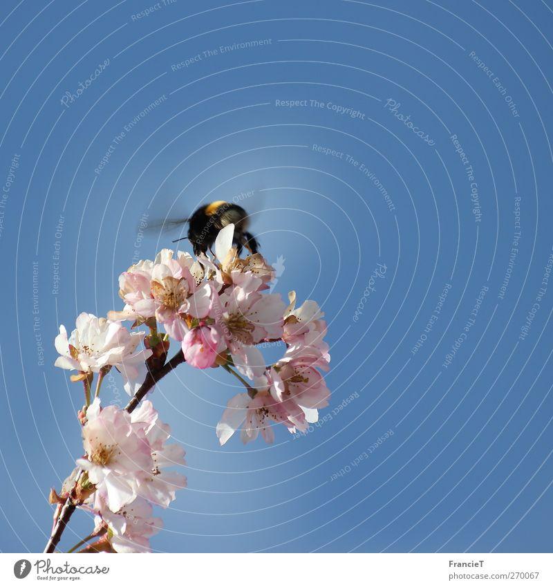 Hummel im Quadrat Natur blau Baum Sonne Pflanze Tier Wärme oben Bewegung Frühling Glück Blüte Luft rosa fliegen natürlich