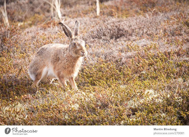 Dünenhase Umwelt Pflanze Tier Sträucher Moos Küste Nordsee Wildtier Tiergesicht Hase & Kaninchen 1 beobachten Jagd warten authentisch wild braun grau grün