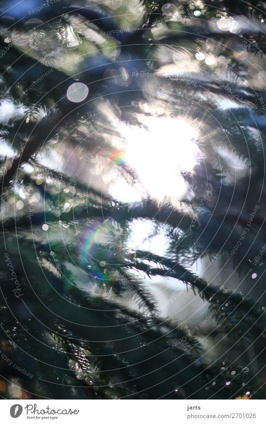 WintergrünIII Natur Pflanze Baum ruhig Wald natürlich hell leuchten frisch Schönes Wetter Gelassenheit Tanne Regenbogen stachelig