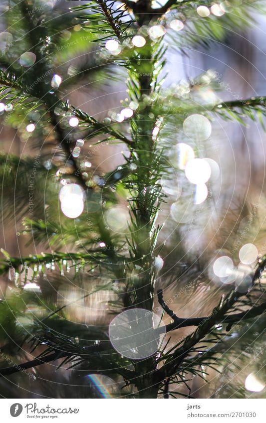 Wintergrün V Natur Pflanze Baum ruhig Wald natürlich leuchten frisch glänzend Schönes Wetter nass Gelassenheit Tanne Wildpflanze