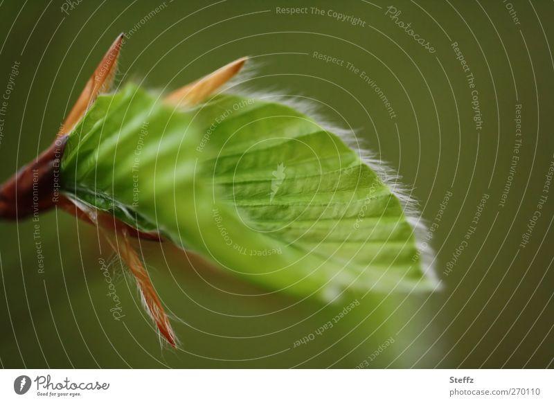 junges Grün im Frühling Blatt Jungpflanze Jahreszeiten Frühlingspflanze Blattadern Blattfaser Blattunterseite frisch neu zartes Grün grün Beginn symmetrisch