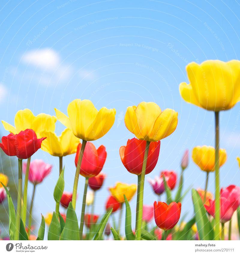 Frühlingserwachen Umwelt Natur Himmel Schönes Wetter Blume Tulpe Blüte Garten Blühend leuchten Wachstum Fröhlichkeit frisch hell natürlich positiv blau gelb