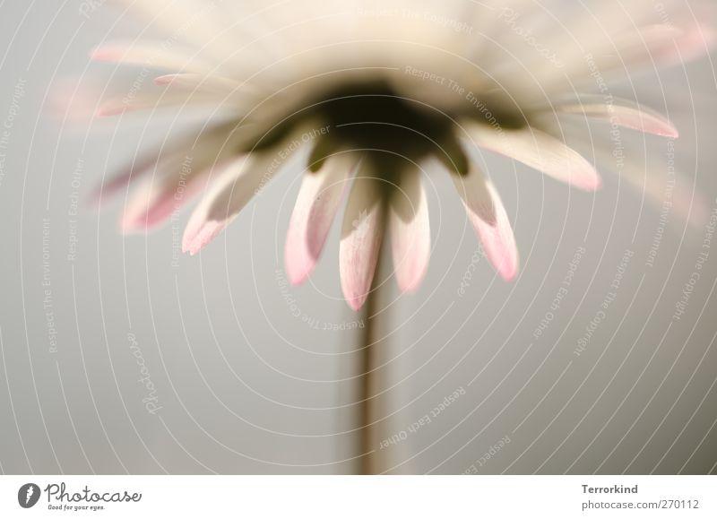 Hiddensee | . Gänseblümchen Blume Froschperspektive Unschärfe Schwache Tiefenschärfe Starke Tiefenschärfe weiß Blüte Blatt Blütenblatt Stengel Frühling Sommer