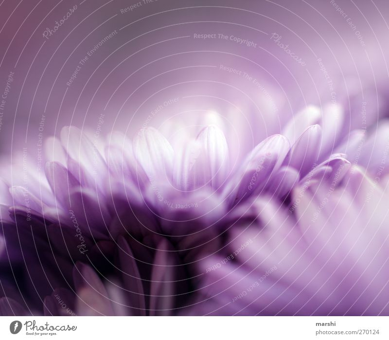 deep purple Natur Pflanze Sommer Blume Frühling Blüte weich violett zart Blütenblatt