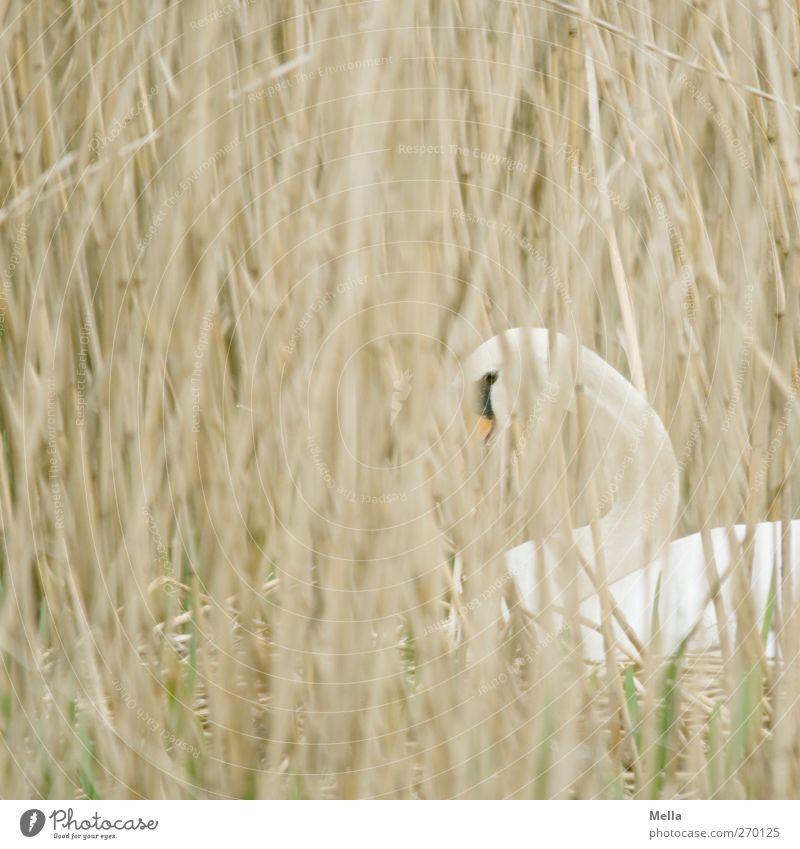 Ich hab Dich im Blick! Natur Pflanze Tier Umwelt Gras Zeit Wildtier warten natürlich beobachten Schutz Schilfrohr Halm Geborgenheit Schwan Durchblick