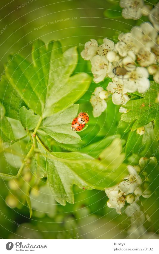 Koitus Natur Pflanze Tier Frühling Blatt Blüte Wildpflanze Weissdorn Marienkäfer 2 Tierpaar berühren authentisch Duft natürlich schön grün rot weiß Glück