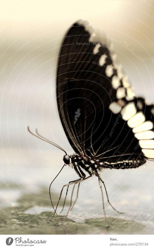 Frau Schmetterling, geb. Raupe Natur Tier Wasser Wildtier Insekt Fühler Beine Auge Flügel 1 Stein trinken nass schwarz weiß Farbfoto Gedeckte Farben