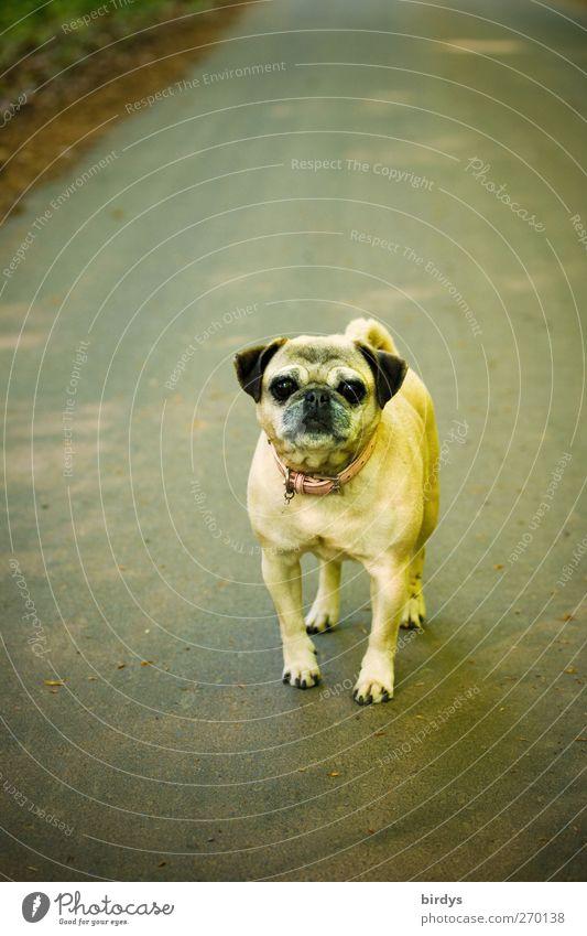Na du kleiner dicker Mops Hund Tier Straße lustig Freundschaft stehen Kommunizieren beobachten niedlich Neugier Asphalt Wachsamkeit Mut Haustier positiv