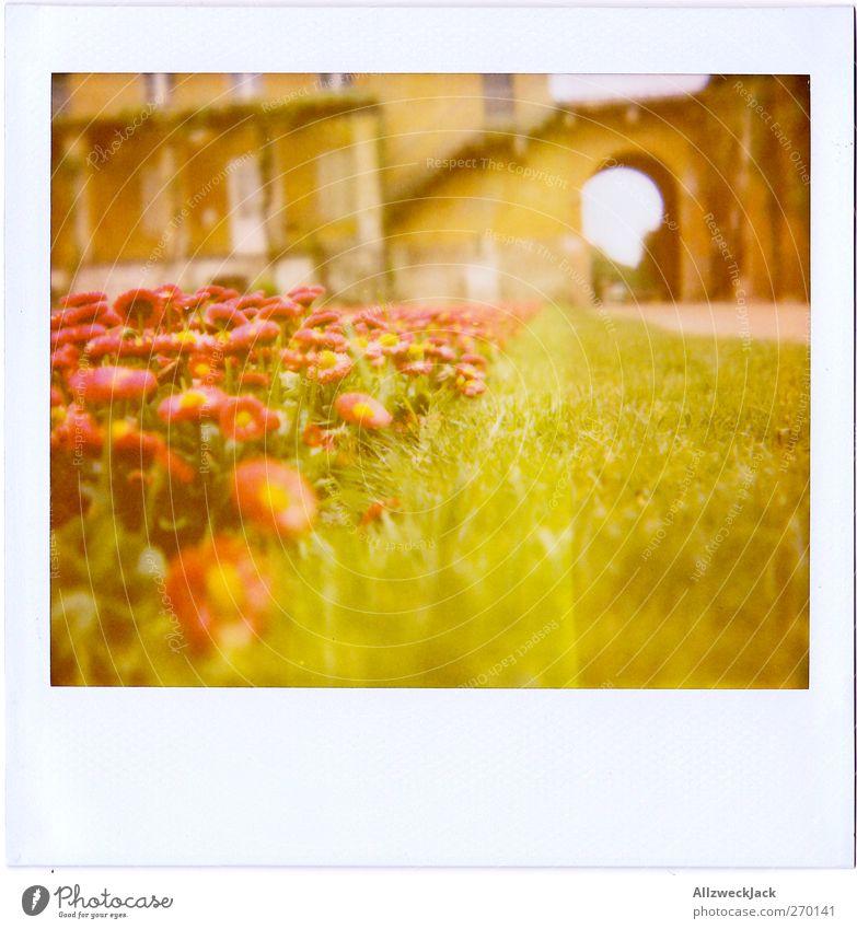 Jänseblümchen grün rot Gras Blüte Rasen Gänseblümchen Beet Frühlingsgefühle