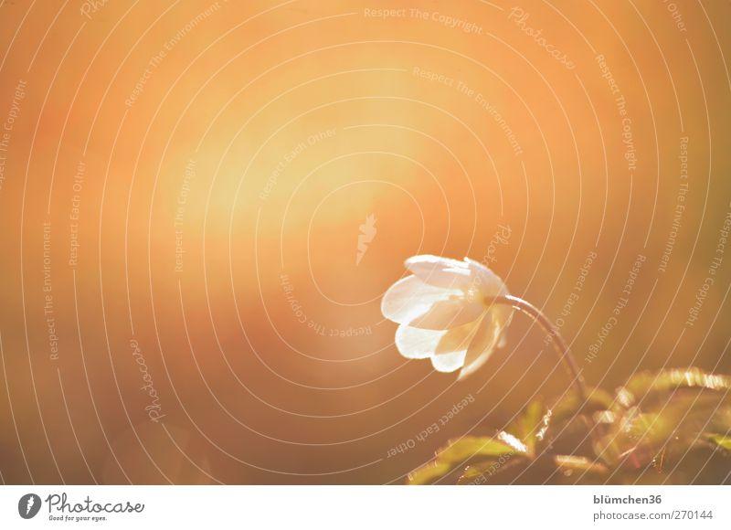 Abendsonne genießen Natur weiß Pflanze Blume Einsamkeit gelb Bewegung Frühling Blüte hell Stimmung gold natürlich leuchten Romantik Schönes Wetter