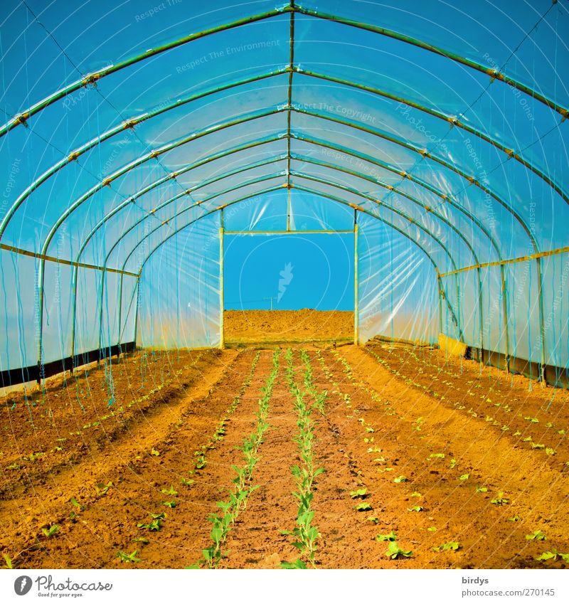 Gewächshausatmosphäre Landwirtschaft Forstwirtschaft Wolkenloser Himmel Frühling Sommer Schönes Wetter Nutzpflanze Feld Wachstum außergewöhnlich heiß lang Wärme