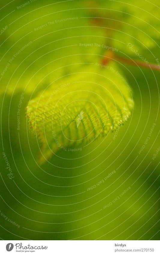 Frühlingsgrün Natur schön Pflanze Blatt frisch ästhetisch Duft Grünpflanze Blattadern Blattgrün Wildpflanze Buchenblatt