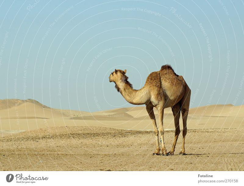 Abu Dhabi {Für Haus Poseritz 2} Umwelt Natur Landschaft Tier Urelemente Erde Sand Sommer Wärme Dürre Wüste Nutztier Fell 1 heiß hell natürlich Dromedar