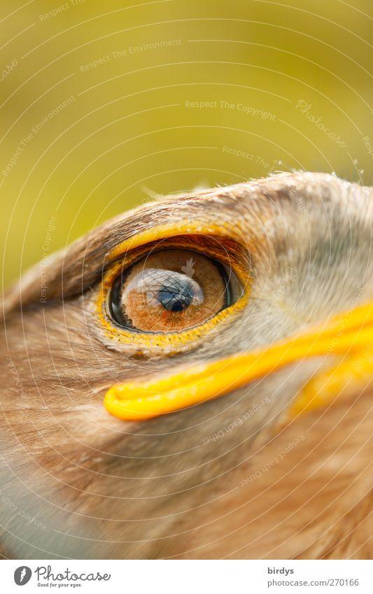 Adler Vogel Steppenadler 1 Tier beobachten Blick ästhetisch außergewöhnlich Traurigkeit Sehnsucht Freiheit Adleraugen Blick nach vorn gefangen Gesichtsausdruck
