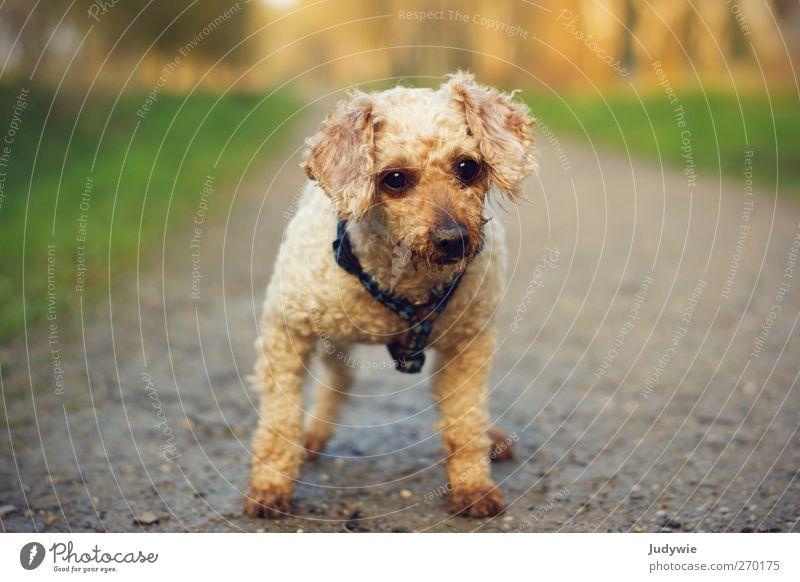 Hypnotisiert Tier Haustier Hund Tiergesicht Pudel beobachten warten niedlich geduldig Neugier Interesse Blick klein Wege & Pfade Farbfoto Außenaufnahme