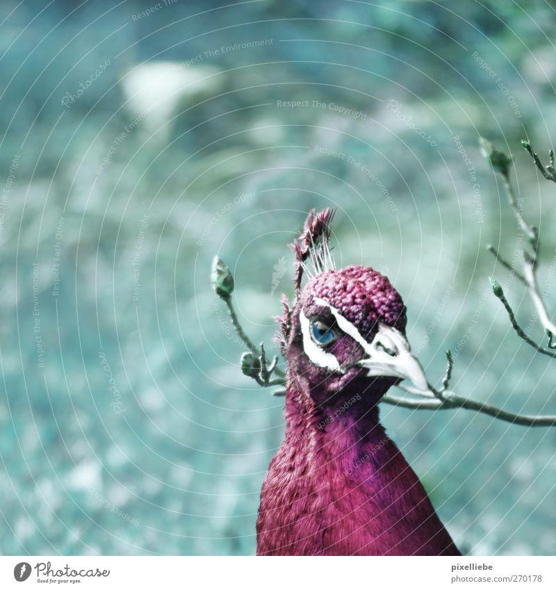 Pf(l)aumig... Natur Tier Park Wiese Wildtier Vogel Tiergesicht Fell 1 elegant rosa türkis Stolz Pfau Zweige u. Äste Schnabel Blick Starrer Blick Auge violett
