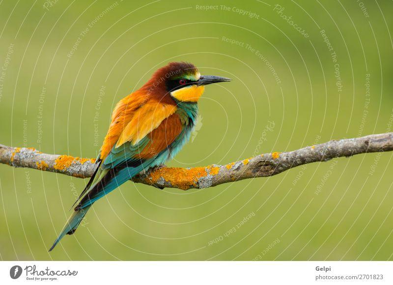 Kleiner Vogel mit schönem Gefieder exotisch Freiheit Natur Tier Biene glänzend füttern hell wild blau gelb grün rot weiß Farbe Tierwelt Bienenfresser Apiaster