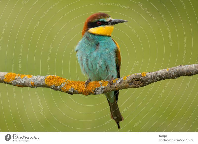 Kleiner Vogel mit schönem Gefieder exotisch Freiheit Natur Tier Biene glänzend füttern wild blau gelb grün rot weiß Farbe Tierwelt Bienenfresser Apiaster