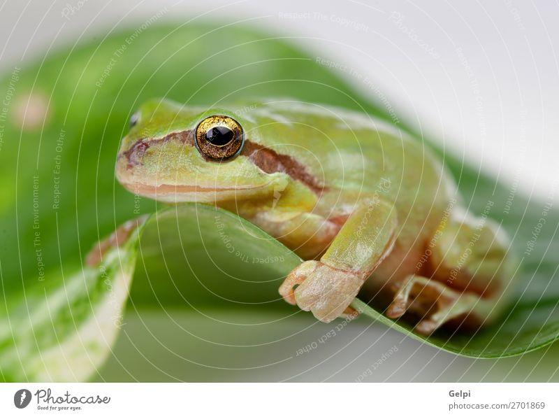 Grüner Frosch mit prallen Augen golden Umwelt Natur Pflanze Tier Baum Blatt Haustier sitzen klein lustig nass schleimig grün weiß Kraft Farbe Amphibie Tierwelt