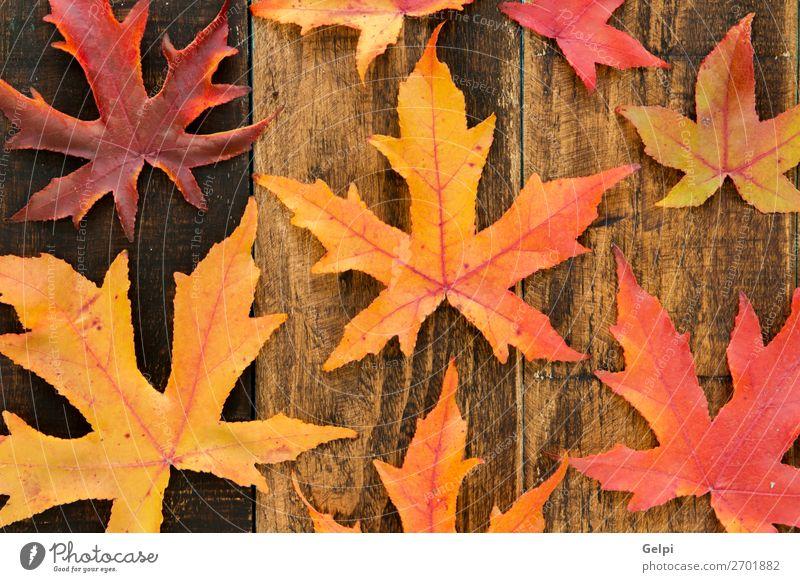 Farben aus dem Herbst Umwelt Natur Pflanze Klima Baum Blatt Wald Holz hell natürlich braun gelb gold rot fallen Jahreszeiten orange Ahorn Venen Konsistenz