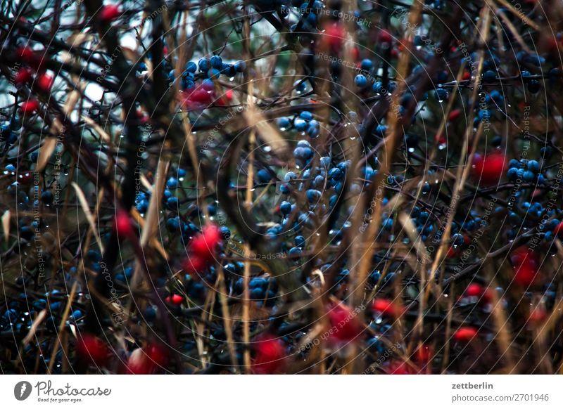 Schlehen und Hagebutten Sträucher Unterholz Schwarzdorn Deutsche Akazie Hundsrose Wildrosen Hecke Herbst Mecklenburg-Vorpommern mönchgut Natur Textfreiraum
