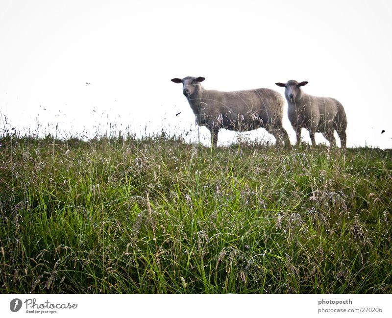Schafe, wie begossene Pudel... Natur grün Tier Wiese Gras Regen nass Wassertropfen Schaf Nutztier schlechtes Wetter
