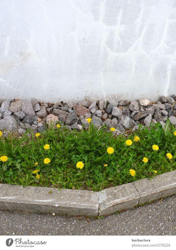 Farbtupfer im Alltag Frühling Pflanze Löwenzahn Park Wiese Mauer Wand Straße Wege & Pfade Wegrand Stein Beton Blühend Wachstum schön gelb grau grün Stimmung