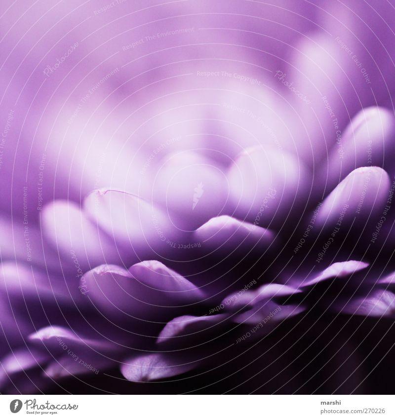 die Leichtigkeit des Seins Pflanze Blume Blatt Blüte violett weiß abstrakt Blütenblatt blütenblattartig leicht Farbfoto Nahaufnahme Detailaufnahme Makroaufnahme