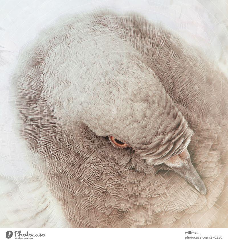 tauber richard Tier Vogel Taube Kopf Feder gefiedert Schnabel 1 braun weiß Farbfoto Außenaufnahme Vogelperspektive Tierporträt