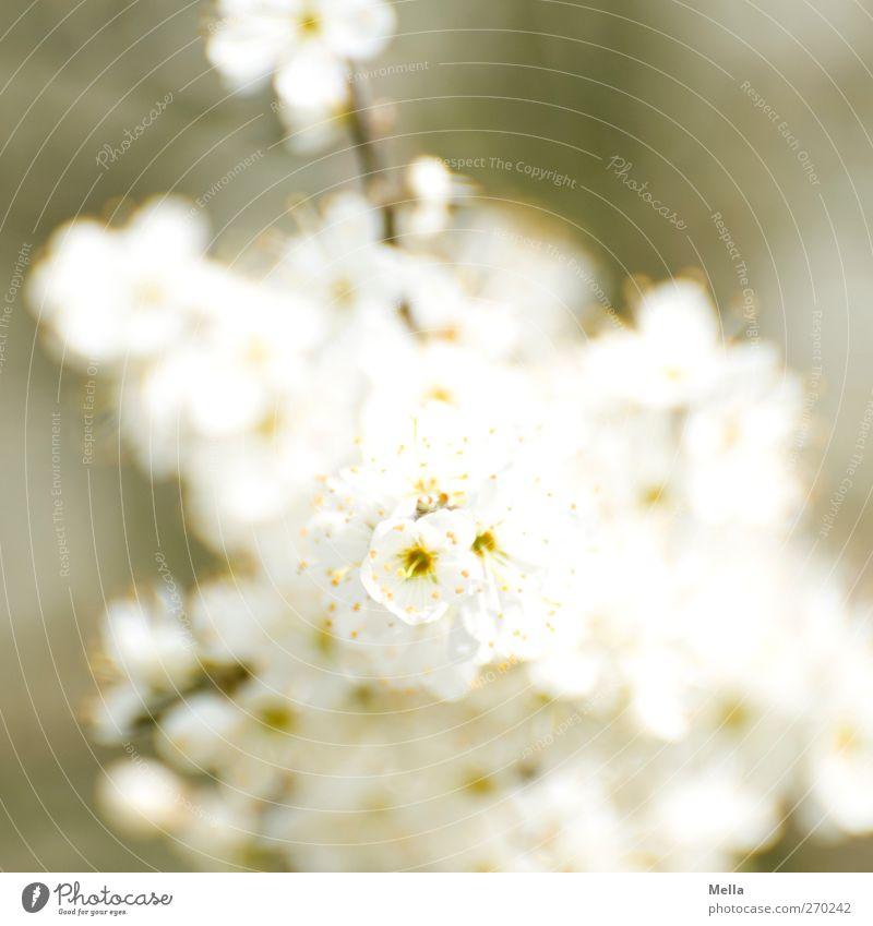 Weiß Umwelt Natur Pflanze Frühling Sommer Sträucher Blüte Blühend hell schön natürlich grün weiß Wachstum Farbfoto Außenaufnahme Menschenleer Tag Unschärfe