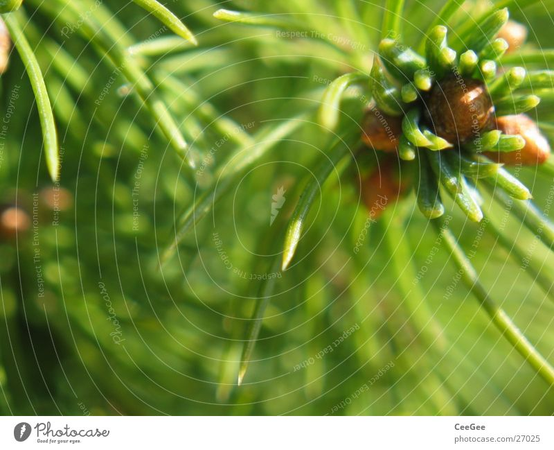 Nadeln Tanne grün Pflanze Nahaufnahme Makroaufnahme Natur Blütenknospen Trieb Strukturen & Formen Tannennadel