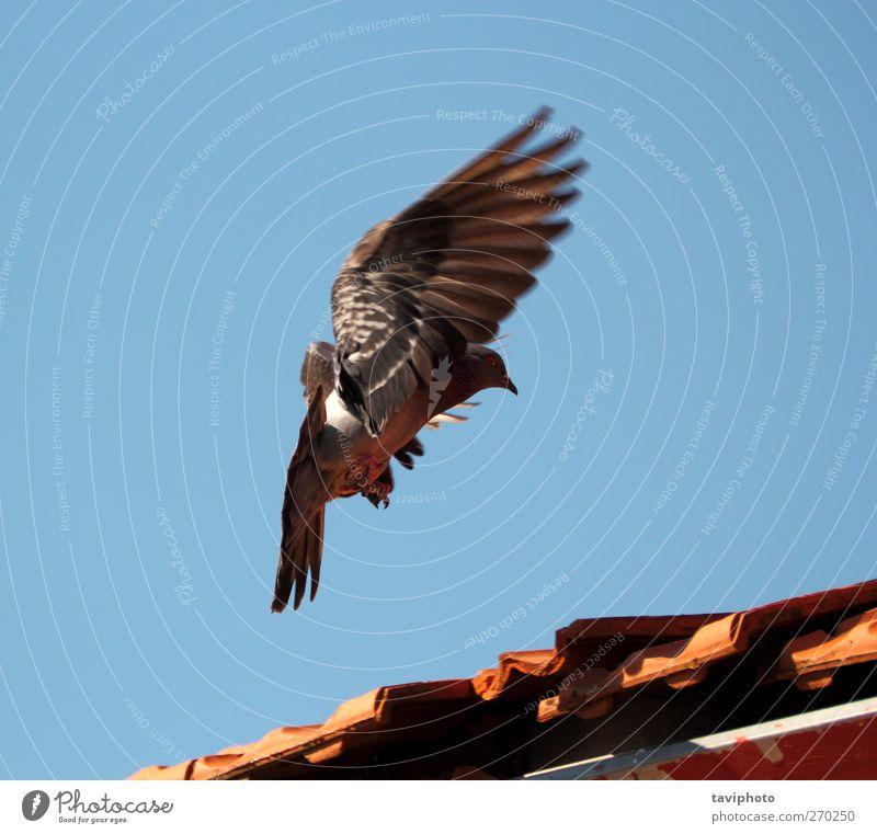 Landungstaube Natur Tier Luft Himmel Wolkenloser Himmel Wildtier Vogel Taube 1 fliegen schön wild Tatkraft anstrengen Bewegung elegant Landen Farbe Farbfoto